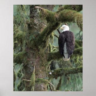 Águila calva suroriental de los E.E.U.U., Alaska,  Póster