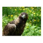 águila de oro 1 postales