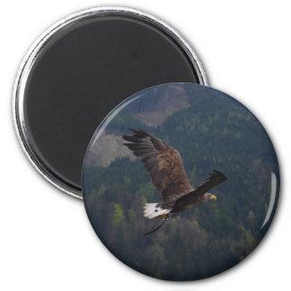 Águila hermosa en vuelo imanes