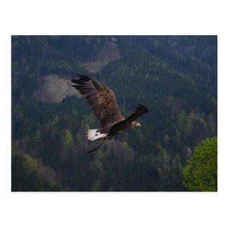 Águila hermosa en vuelo tarjeta postal