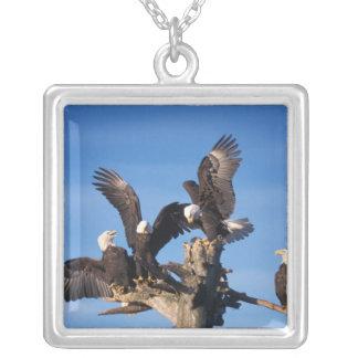 águilas calvas, leuccocephalus del Haliaeetus, Collar Plateado