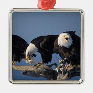 águilas calvas leuccocephalus del Haliaeetus Adornos De Navidad