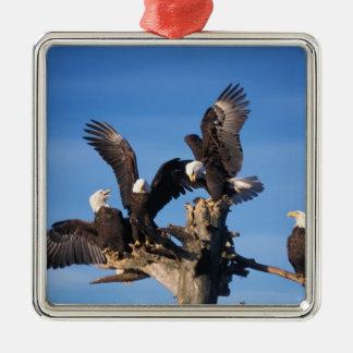 águilas calvas, leuccocephalus del Haliaeetus, Adorno Cuadrado Plateado