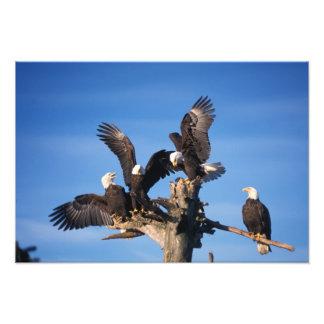 águilas calvas, leuccocephalus del Haliaeetus, Impresión Fotográfica