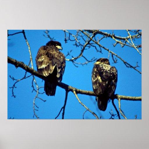 Águilas calvas no maduras poster