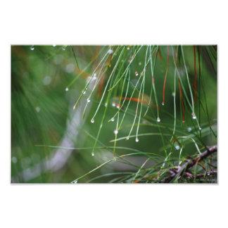 Agujas del pino después de la impresión de la foto