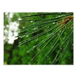 agujas del pino en lluvia impresion fotografica