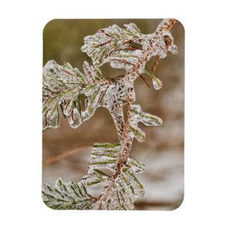 Agujas heladas del pino iman