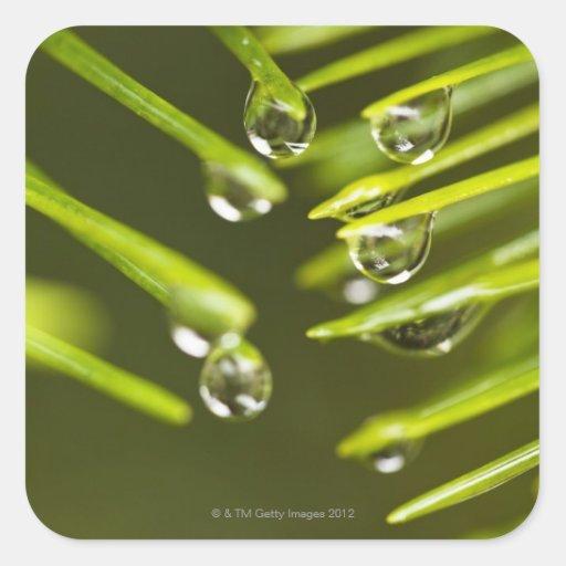 Agujas y gotitas imperecederas de la lluvia pegatina cuadrada