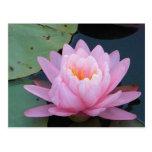 AH- Pink Water Lily Postcard