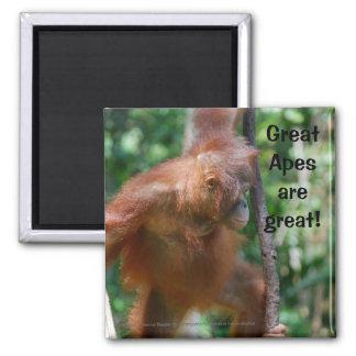 Ahorre los grandes monos imán cuadrado