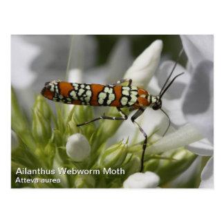 Ailanthus Webworm Moth Postcard