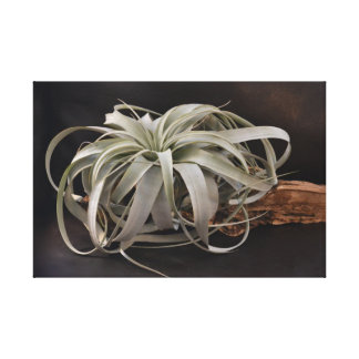 Air Plant Xerographica Canvas Print