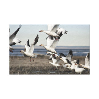 Airborne Snow Geese Canvas Print