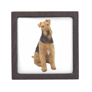 Airedael Terrier (c) - sentándose Caja De Regalo De Calidad