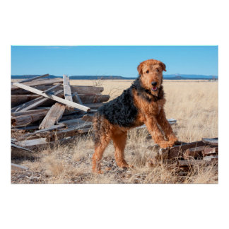 Airedale on a stack of wood poster