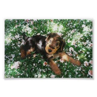 Airedale pup in flowerfield poster