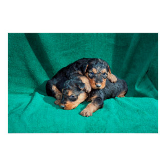 Airedale puppies lying on towel poster