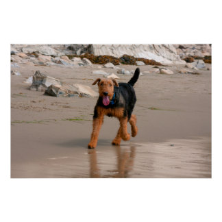 Airedale running on the beach poster