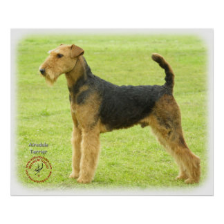 Airedale Terrier 8T092D-16 Póster