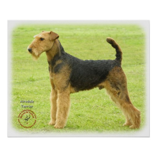 Airedale Terrier 8T092D-16 Poster