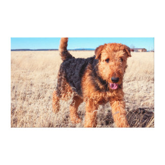 Airedale Terrier in a field of dried grasses Canvas Print
