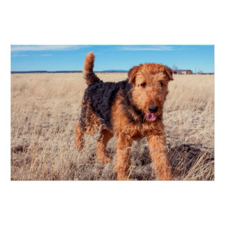 Airedale Terrier in a field of dried grasses Poster