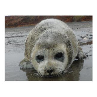 ak del kotz de la cría de foca postales