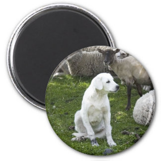 Akbash Dog and Sheep Herd Magnet