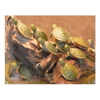 Alabama Red Bellied Turtle 2 (Alabama) Postcard