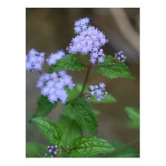 Alabama Wild Lavender Ageratum Wildflowers Postcard