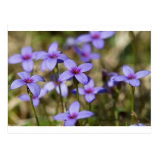 Alabama Wildflower Tiny Bluet - Houstonia pusilla Postcard