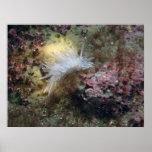 Alabastro Nudibranch Impresiones