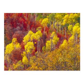 Álamos tembloses coloridos en el barranco Utah de Postales