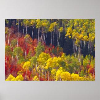 Álamos tembloses coloridos en el barranco Utah de  Póster