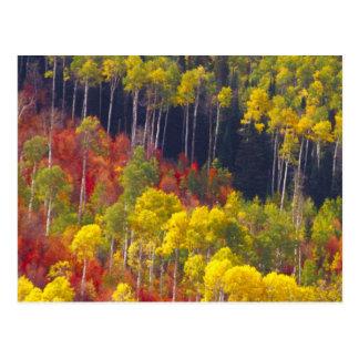 Álamos tembloses coloridos en el barranco Utah de  Postal