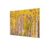 Álamos tembloses del otoño en el paso de Kebler en Impresión En Lienzo Estirada