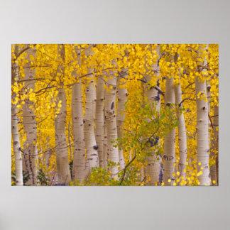Álamos tembloses del otoño en el paso de Kebler en Posters