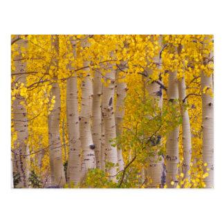 Álamos tembloses del otoño en el paso de Kebler en Postales