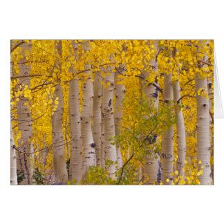 Álamos tembloses del otoño en el paso de Kebler en Tarjeta De Felicitación