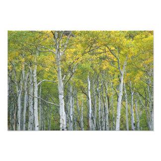 Álamos tembloses del otoño en el paso de McClure e Fotografía
