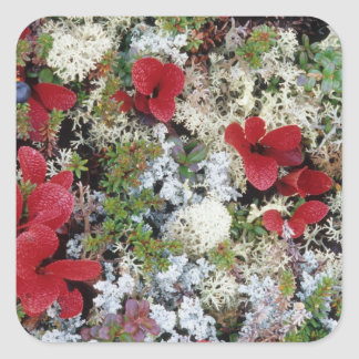 Alaska, Denali National Park, Arctic tundra is Square Sticker