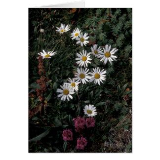 Alaska / Hall Island wildflowers, Arctic daisy,Lou Card