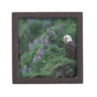 Alaska, isla Eagle calvo de Unalaska entre Nootka Cajas De Regalo De Calidad