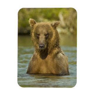 Alaska. Katmai NP. Pesca costera del oso de Brown Iman De Vinilo
