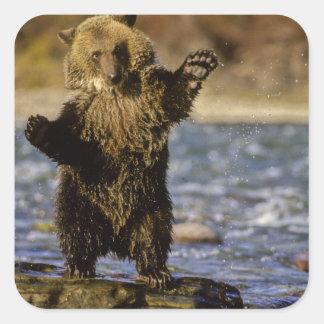 Alaska, los E.E.U.U., oso grizzly, arctos del Colcomanias Cuadradas Personalizadas