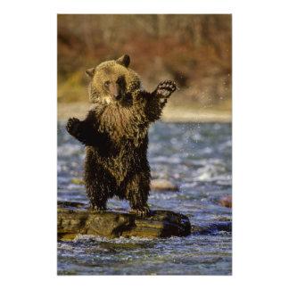 Alaska, los E.E.U.U., oso grizzly, arctos del Ursu Cojinete