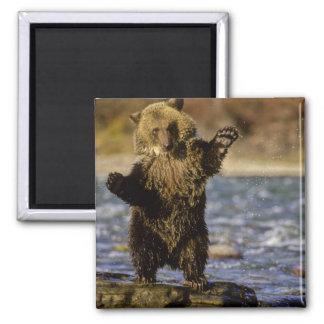 Alaska, los E.E.U.U., oso grizzly, arctos del Ursu Imán Cuadrado