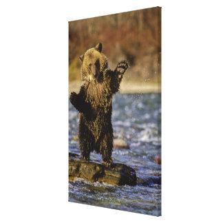Alaska, los E.E.U.U., oso grizzly, arctos del Ursu Impresión De Lienzo
