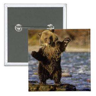 Alaska, los E.E.U.U., oso grizzly, arctos del Ursu Pin Cuadrada 5 Cm